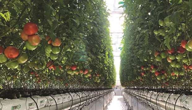 A section of a bumper tomato crop at Agrico Farm in Al Khor.