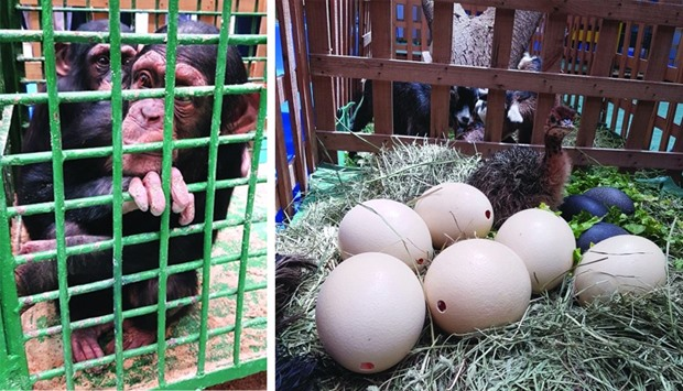 Chimpanzees stare at Agriteq visitors at DECC. Doha Zoo showcases a a three-day old ostrich at its b