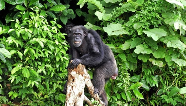 Scientists have developed a vaccine to shield endangered chimpanzees and gorillas against Ebola