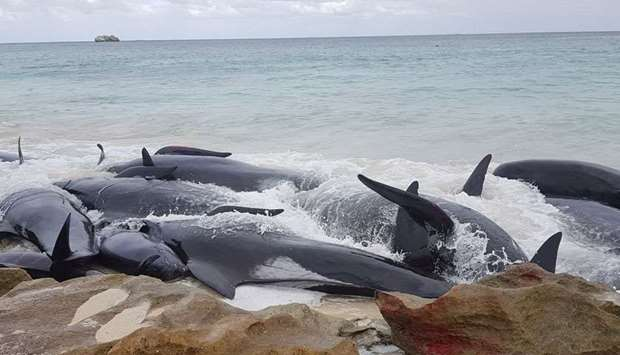 More than 150 whales beached with at least half dying as rescuers worked to herd them back to sea