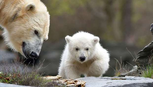 A polar bear walk past her mother Tonia at their enclosure as the baby is presented to the press