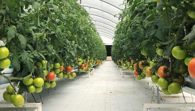 Agricultural production in Qatar is at its peak during this period.