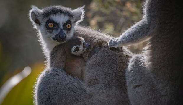 A recently born Madagascan ring-tailed lemur