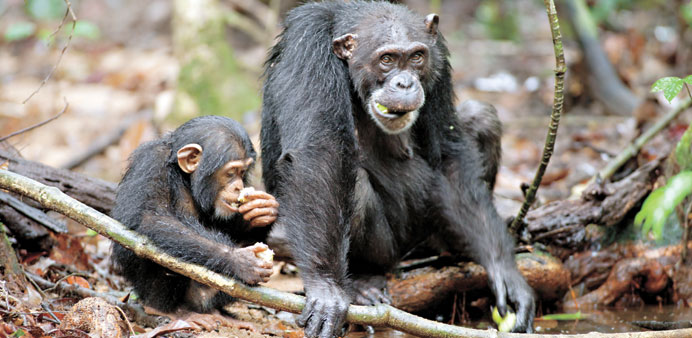 * Oscar (left) and Isha eat sacoglottis fruit in a Ghana jungle.