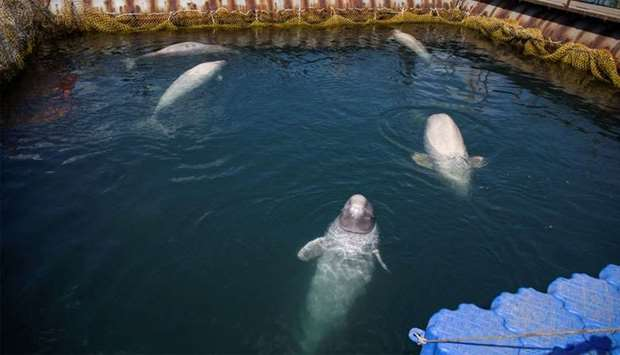 A view shows a facility, where nearly 100 whales are held in cages, in Primorsky Region