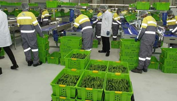 Fresh cucumber from a local farm is sorted and packed