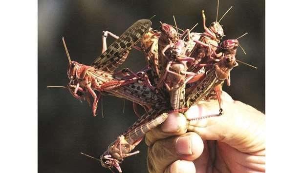 A farmer holds up handful of locusts that descended on a field in Byblos, north of Beirut, in this f