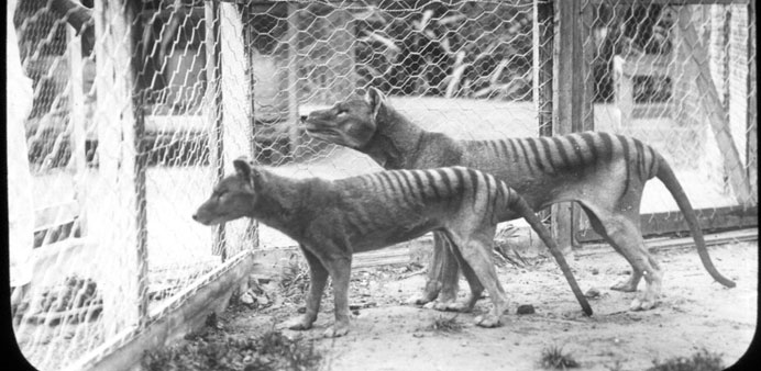 A Tasmanian Museum and Art Gallery handout photo released to AFP yesterday of Tasmanian tigers (thyl
