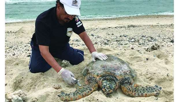 A hawksbill turtle being tagged on Halul Island.