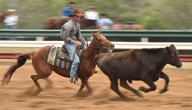 A competitor riding his horse while guiding a bullock around
