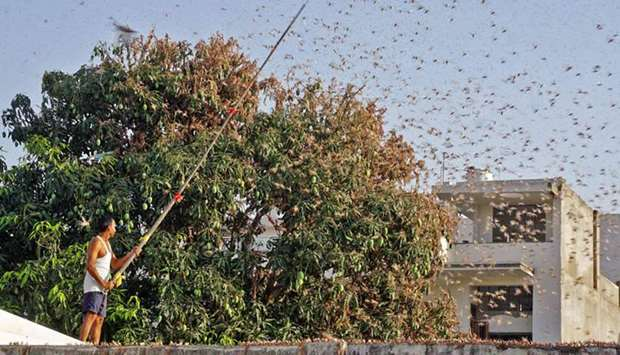 Jaipur spends sleepless nights as locusts wreak havoc