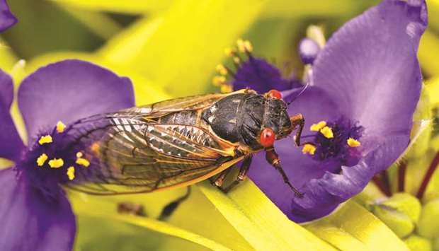 A cicada from Brood X clings to a flower after emerging from its 17 years underground to join the tr