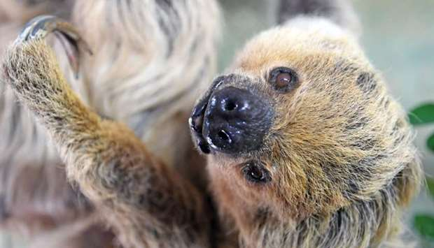 """Sloth """"Paula"""" hangs from a branch in her enclosure at the zoo in Halle an der Saale, eastern Germany"""