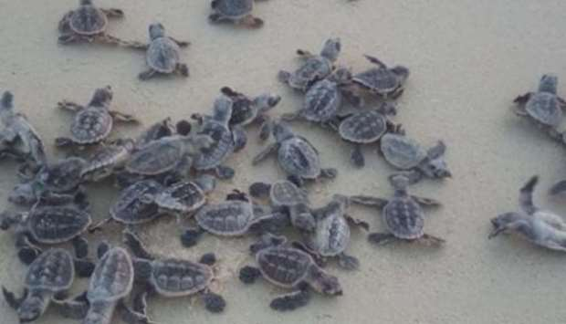 Baby hawksbill turtles moving to the sea after being released from the protected site on Fuwairit Be