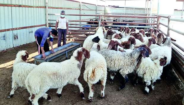 The livestock sector in Qatar is progressing unaffected by the Covid-19 impact.