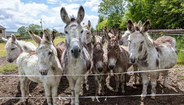 Rescue donkeys graze in the fields