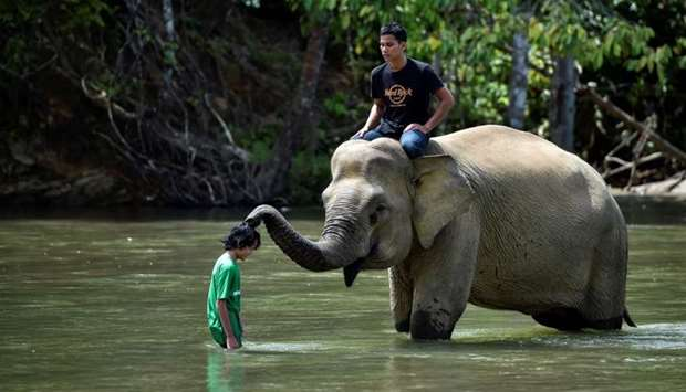 A female Sumatran elephant touches a visitor during her bath in a river