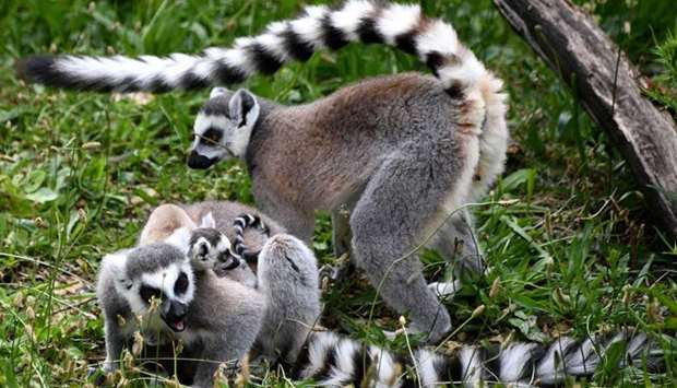 Ring-tailed lemurs stand in their enclosure