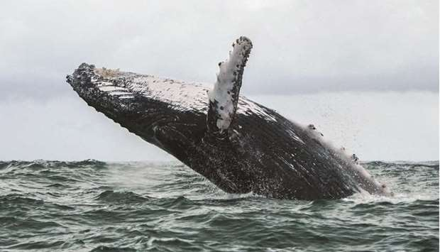 In this file photo, a Humpback whale jumps in the surface of the Pacific Ocean at the Uramba Bahia