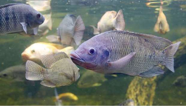 Qatari fish farms are expected to annually produce around 600 tonnes of tilapia, almost equal to a q
