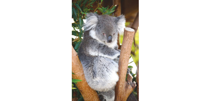 File photo shows a koala sitting on a branch at a zoo in western Sydney.