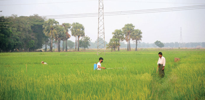 A Myanmar farmer sprays insecticide at his paddy field in Letpadan township in Bago division.