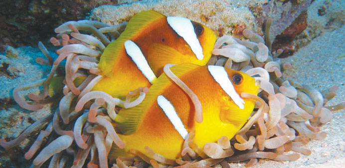 Clown fish with sea anemone.
