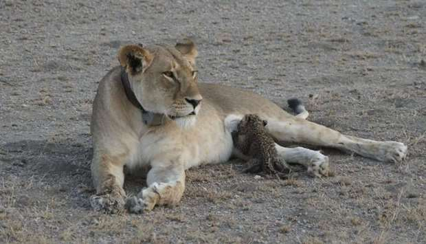 A leopard cub is seen suckling on a lioness in the Ngorongoro Conservation Area, Tanzania.