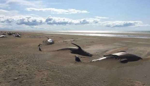 Tourists discover 50 dead pilot whales in Iceland