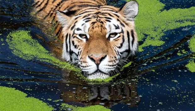 Tiger cools off in her pool at the zoo