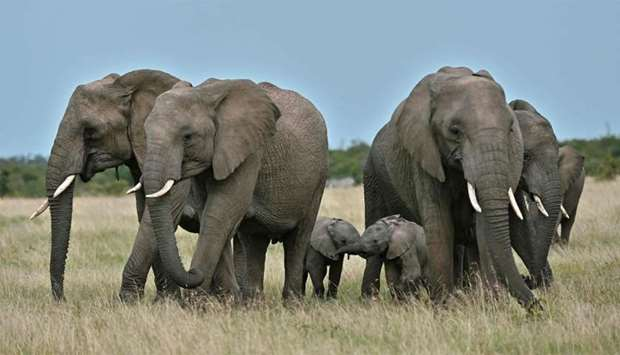 Female elephants get into a protective formation around a pair of calfs on a grassy plain at the Ol