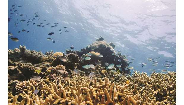 In this file picture, assorted reef fish swim above a staghorn coral colony as it grows on the Great