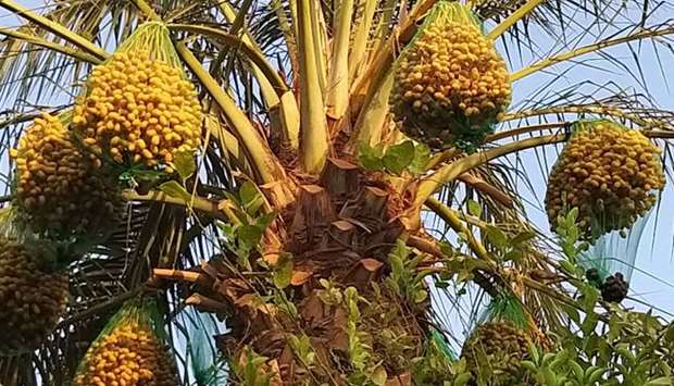 Yellow and reddish dates in the Khalal stage of ripening hanging in clusters from the palm trees is