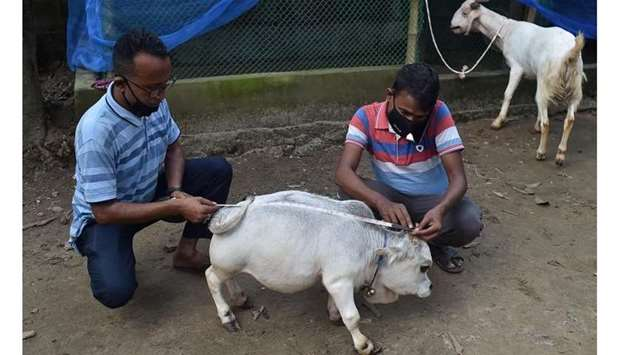 People measure a dwarf cow named Rani, whose owners applied to the Guinness Book of Records claiming