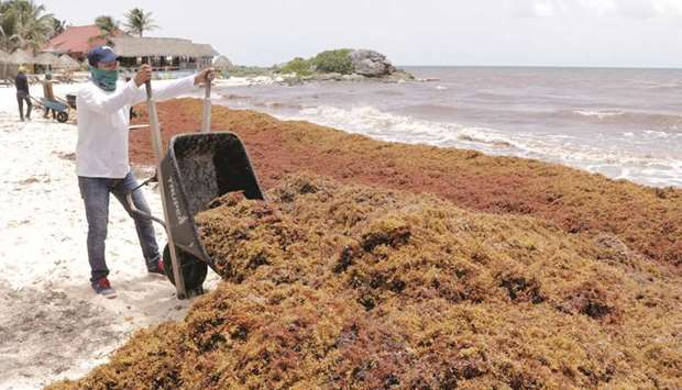 Workers clear Sargassum