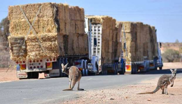 Kangaroos can be seen standing near parked trucks loaded with hay on the outskirts of the western Ne