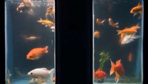 Abandoned by individual keepers goldfish during quarantine at the Aquarium in Paris