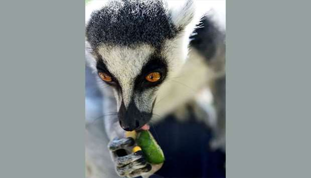 Ring-tailed Lemurs cool off on a snack of frozen fruits - La Fleche Zoo