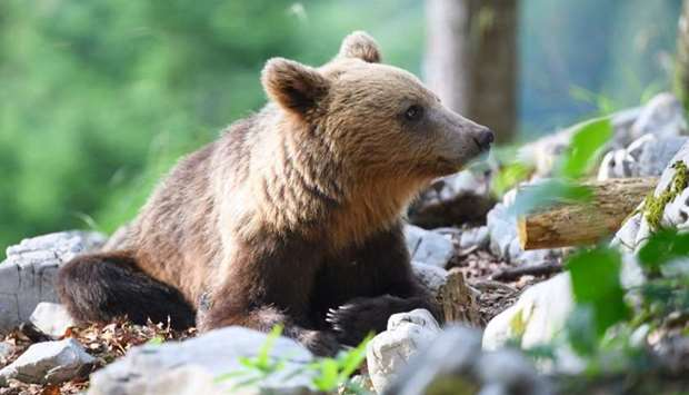 A bear explores the forest above Markovec