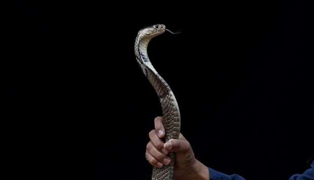 Pinyo Pukpinyo shows a cobra snake which he caught