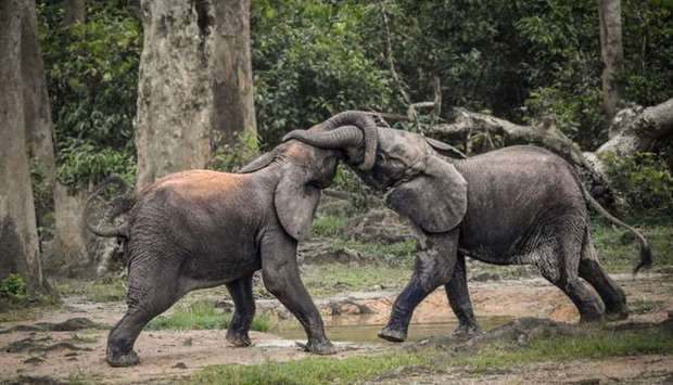 A pair of wild forest elephants fight in Bayanga Equatorial Forest