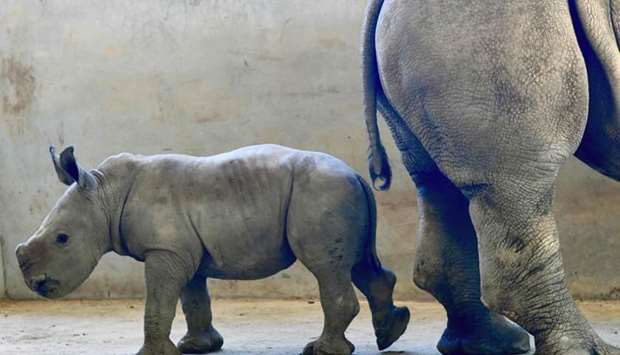 Baby rhinoceros is seen with its mother