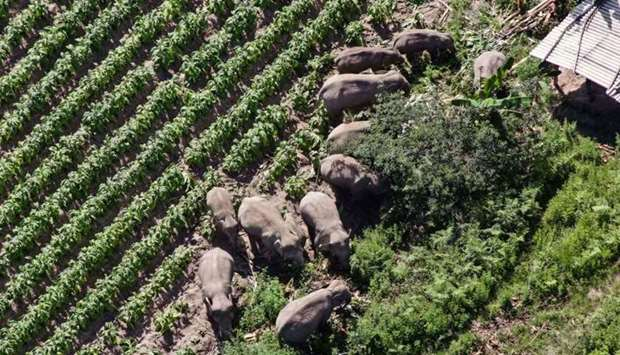 The migrating herd of wild Asian elephants in southwest China's Yunnan province on July 13. AFP/Yunn