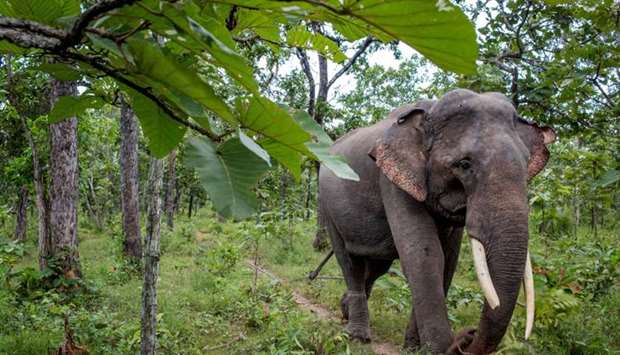 A rescued elephant with a broken tusk, walking in Yok Don National Park