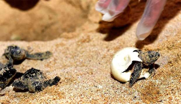 A hawksbill turtle hatchling emerges from its egg-shell.