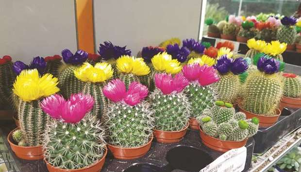 A collection of Cacti with colourful flowers.