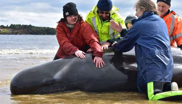 Rescuers work to save a whale on a beach in Macquarie Harbour on the rugged west coast of Tasmania
