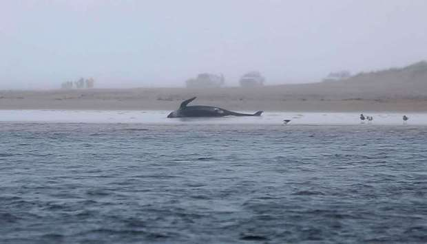 A whale stranded on a beach in Macquarie Harbour