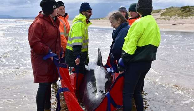 Rescuers work to save a whale on a beach in Macquarie Harbour on the rugged west coast of Tasmania o