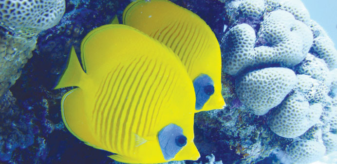 Masked butterfly fish in a coral reef, an underwater scene from Qatar. PICTURE: Khaled Zaki.